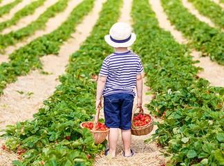 קטיף ואכילת תותים בסתלבתות